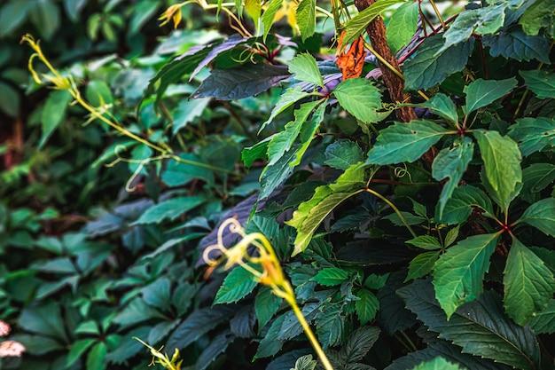 Folhas verdes de videira em vinhedo na primavera ou verão cultivando jardim verde