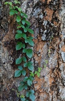 Folhas verdes de videira na casca da grande árvore