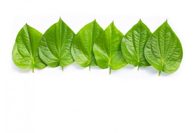 Folhas verdes do betel, gaiteiro fresco betle no branco.