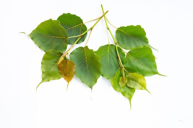 Folhas verdes do bodhi na superfície branca