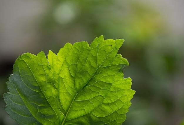Folhas verdes do patchouli em fundo natural.