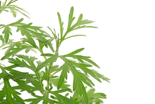 Folhas verdes do ramo artemísia ou artemísia annua isoladas no fundo branco.