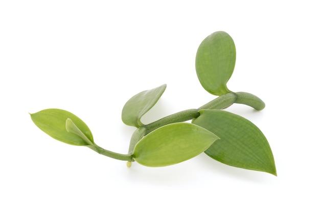 Folhas verdes do ramo de baunilha isoladas no fundo branco com traçado de recorte.