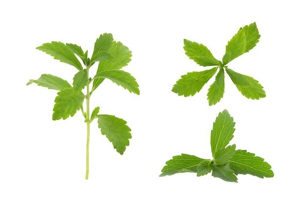 Folhas verdes do ramo de estévia isoladas no fundo branco com traçado de recorte.