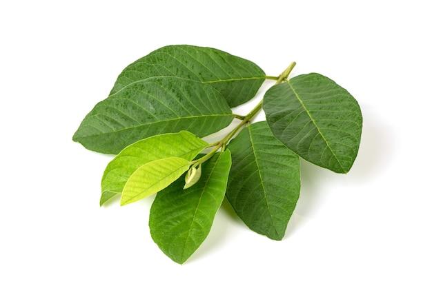 Folhas verdes do ramo goiaba ou psidium guajava isoladas no fundo branco.