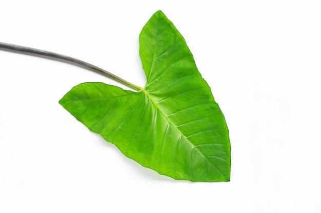 Folhas verdes do taro isoladas no branco.