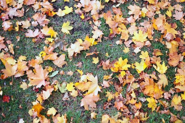 Folhas verdes e amarelas vermelhas no chão, folhas de bordo na grama verde para o outono
