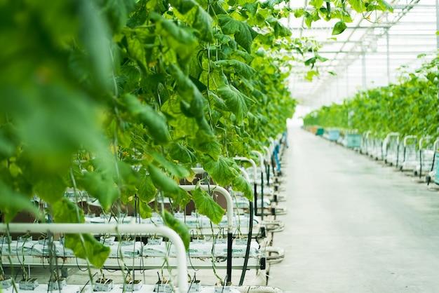Folhas verdes e cultivo de pepino em uma estufa de vidro brilhante