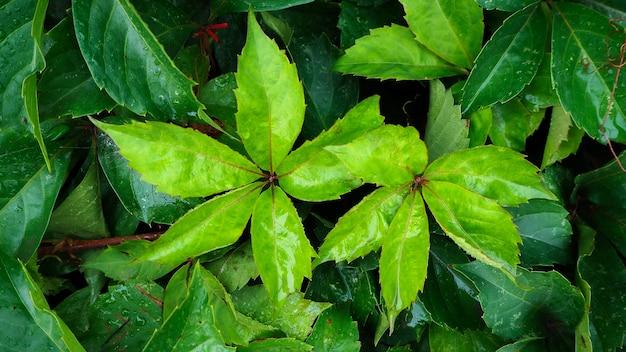 Folhas verdes e gotas de orvalho oferece um conceito refrescante.