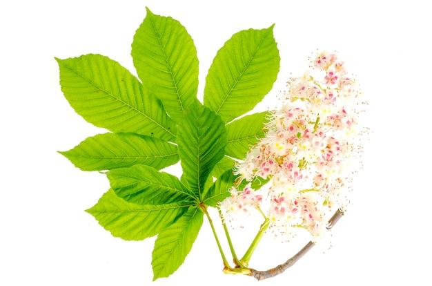 Folhas verdes e inflorescência de castanheiro