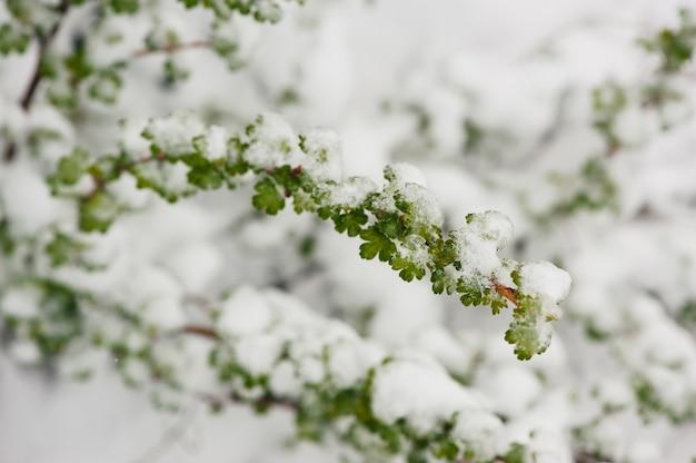 Folhas verdes e neve