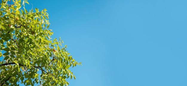 Folhas verdes em um fundo de céu azul. banner com espaço de cópia.