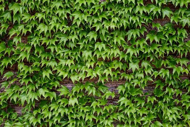 Folhas verdes em uma parede de tijolos.