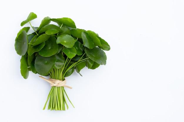 Folhas verdes frescas de centella asiática ou planta de erva-cidreira no branco
