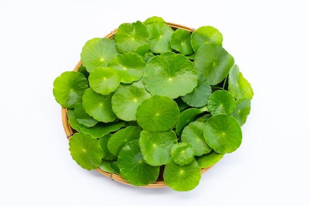 Folhas verdes frescas de centella asiática ou planta de erva-cidreira