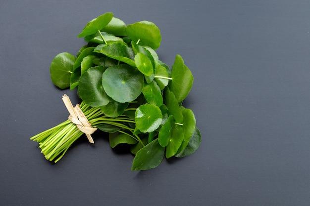 Folhas verdes frescas de centella asiatica ou planta de pennywort de água na superfície escura.