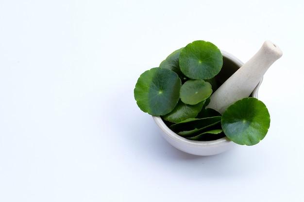 Folhas verdes frescas de centella asiatica ou planta de pennywort de água no almofariz com pilão no fundo branco.