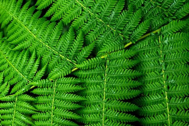 Folhas verdes frescas de samambaia