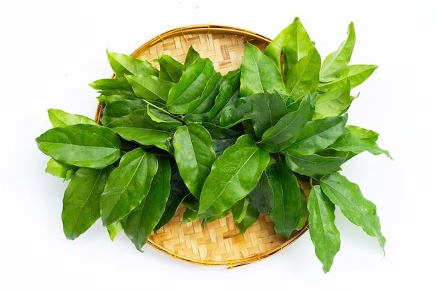 Folhas verdes frescas de tiliacora triandra