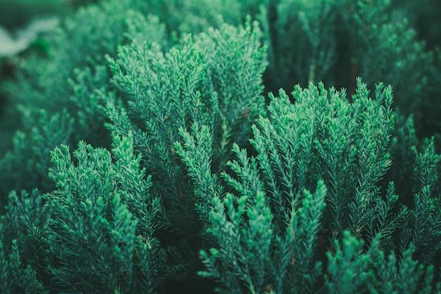 Folhas verdes frescas do pinho na floresta.
