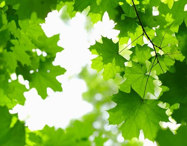 Folhas verdes frescas no galho com luz do dia.