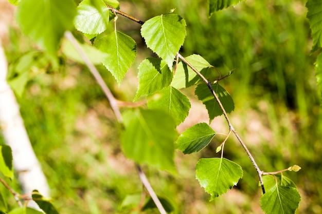 Folhas verdes jovens de bétula na primavera