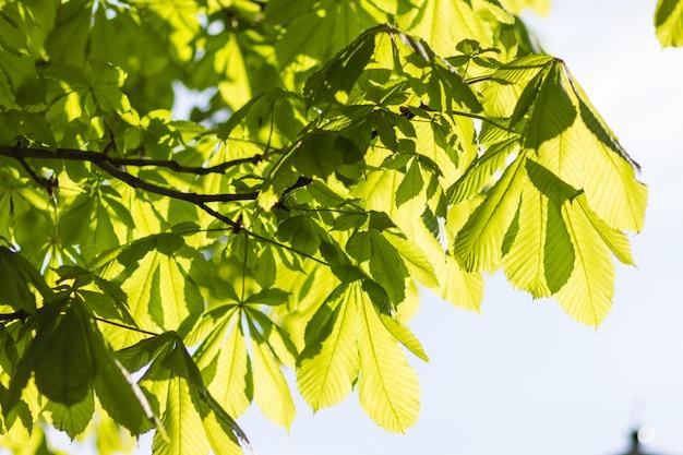 Folhas verdes jovens de castanha