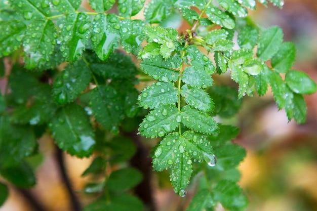 Folhas verdes jovens em um galho depois da chuva em um fundo desfocado. estações, primavera.