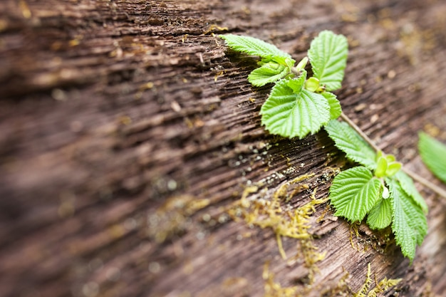 Folhas verdes jovens no fundo da casca velha de uma árvore. juventude e maturidade. primavera. fechar imagem