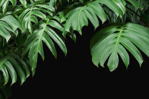 Folhas verdes, monstera, ligado, experiência preta