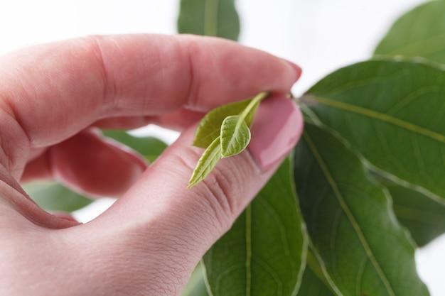 Folhas verdes na mão