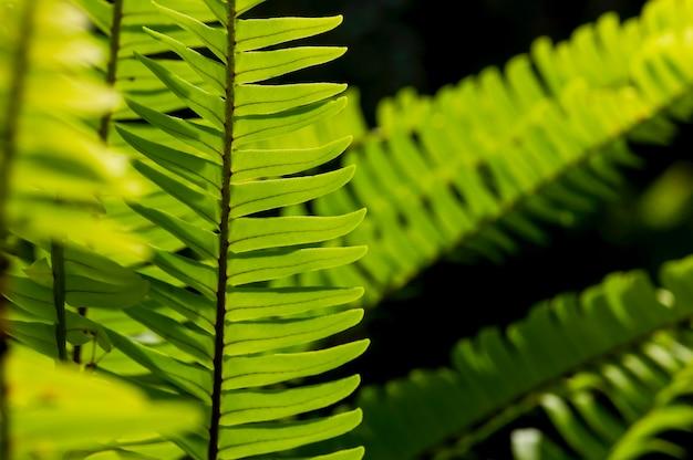 Folhas verdes naturais de samambaia, foco selecionado, para fundo natural e papel de parede