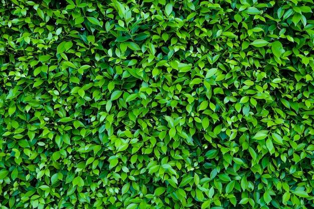 Folhas verdes naturais para o fundo e papel de parede que pode usar