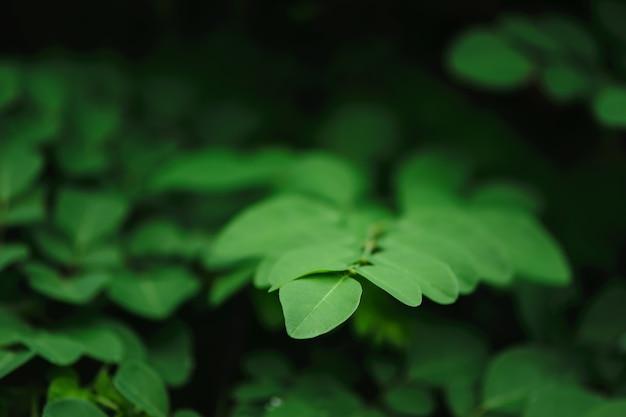 Folhas verdes no fundo escuro, erva tailandesa, moringa oleifera, tumor maligno.