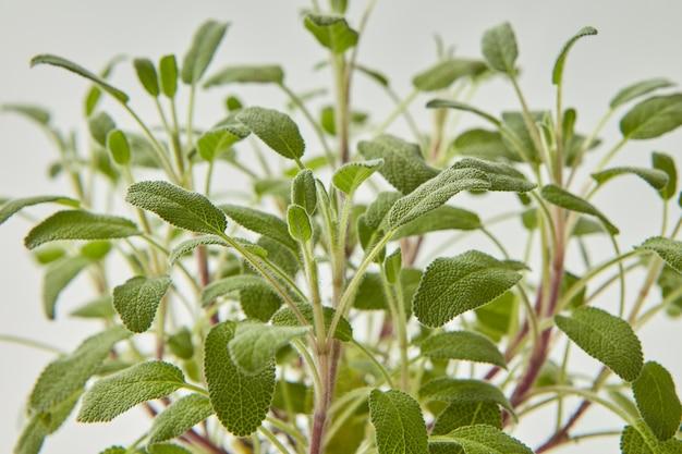 Folhas verdes orgânicas naturais frescas à base de plantas decorativas da planta de sálvia em uma parede cinza clara. foco seletivo.