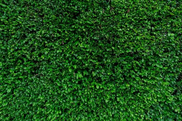 Folhas verdes pequenas textura de fundo. plantas de cobertura sempre-verdes. parede ecológica. fundo natural orgânico. ambiente limpo. planta ornamental no jardim. Foto Premium