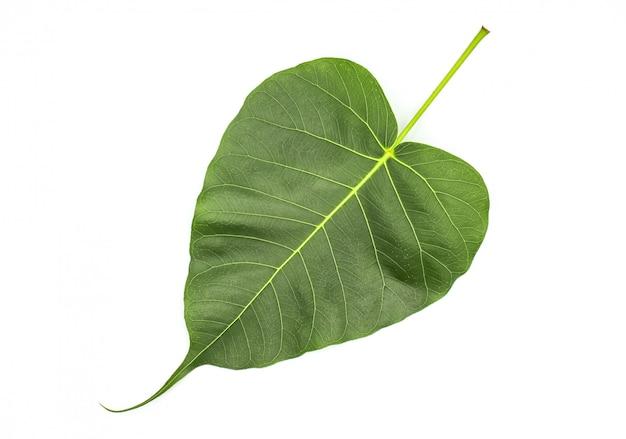 Folhas verdes pho