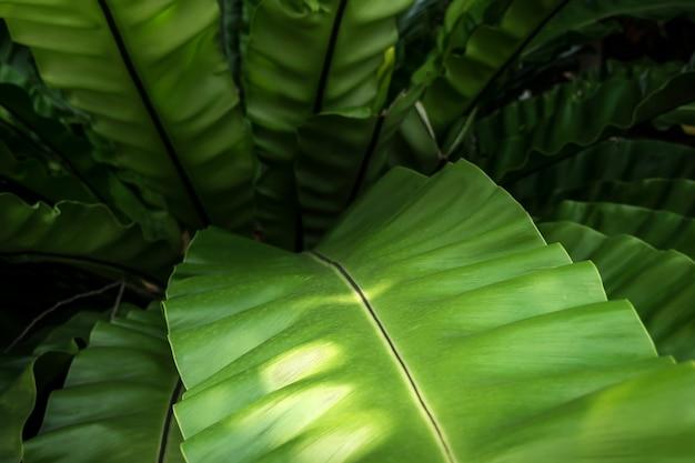 Folhas verdes samambaia de ninho de pássaro