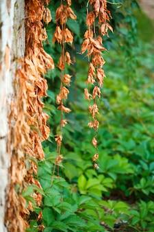 Folhas verdes secas e novas velhas de uvas bravas no fundo de uma parede de cimento velha