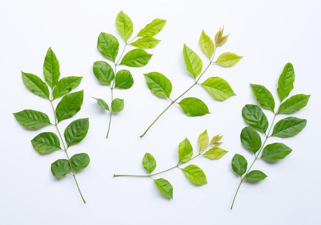 Folhas verdes sobre fundo branco