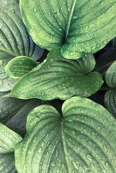 Folhas verdes tropicais fundo natureza verão chuva gota floresta planta