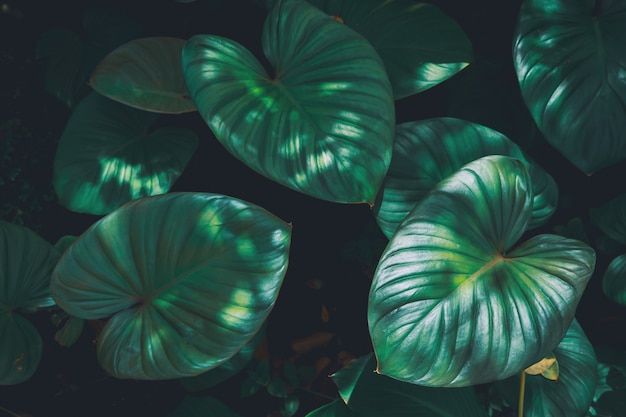 Folhas verdes tropicais texturizadas e plano de fundo, conceito da natureza