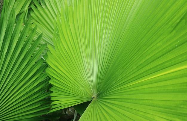 Folhas verdes vibrantes semelhantes a leques de plantas de palmeira para chapéu-do-panamá para fundo ou banner