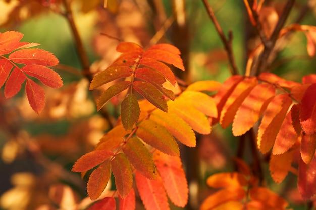 Folhas vermelhas amarelas da cinza de montanha no por do sol.