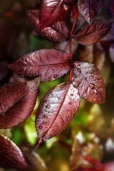Folhas vermelhas com gotas. composição abstrata
