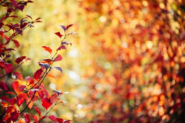 Folhas vermelhas de espinheiro em uma floresta