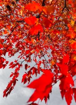 Folhas vermelhas de outono de um bordo ornamental