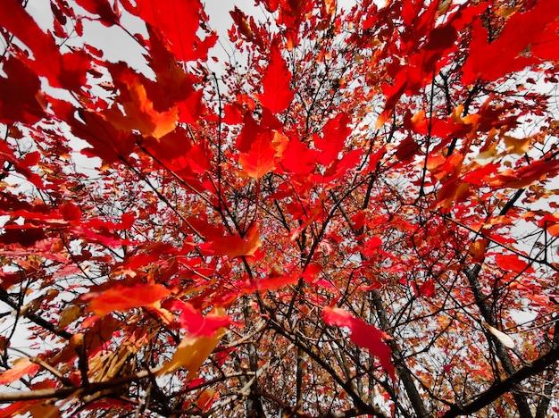 Folhas vermelhas de outono de um clone no fundo de um céu azul