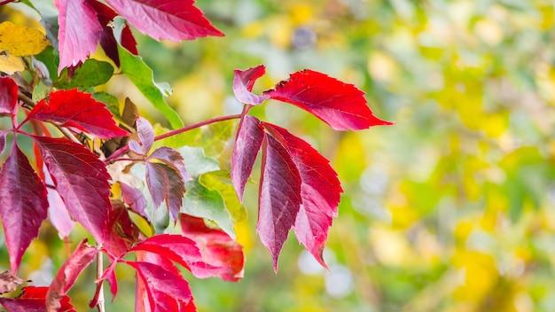 Folhas vermelhas de outono em um fundo claro e desfocado