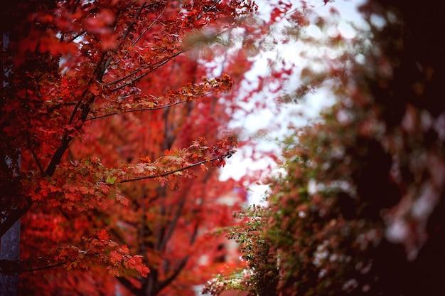 Folhas vermelhas de outono, maple japonês com fundo desfocado